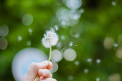 Hand with dandelion Royalty Free Stock Images