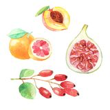 Hand dawn set with watercolor fruits, fresh food. Peach, gojiberry, grapefruit, fig Stock Photography