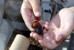In hand de kakkerlak van het gesis Royalty-vrije Stock Fotografie