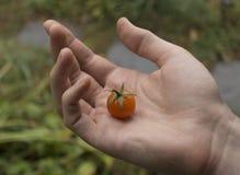 In hand de tomaat van de kers Royalty-vrije Stock Afbeeldingen