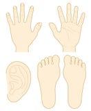 Hand, de zool van een voet, oor Stock Afbeelding