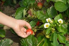 Hand der Kinder, die Erdbeere auf Gartenbett aufhebt Stockfotografie