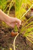 Hand der kleines Mädchen-Zug-Karotte vom Boden im Gemüsegarten stockfotos