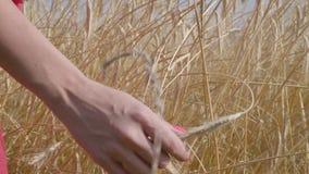 Hand der sorglosen Frau die gelben Ohren berührend, die auf der Weizenfeldnahaufnahme stehen Verbindung mit Natur, Naturschönheit stock video footage