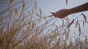 Hand der sorglosen Frau die gelben Ohren berührend, die auf der Weizenfeldnahaufnahme stehen Verbindung mit Natur, Naturschönheit stock video