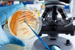 Hand der Technikerhalteplatte mit bakteriellen Kolonien von Stre stockfoto
