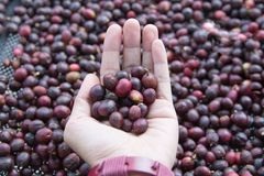 Hand des Frauenhaltens Rohkaffeebohnen, welche die Beschaffenheit, Gesch?ftskaffeekonzept braten lizenzfreies stockfoto