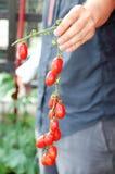 Hand des Landwirts, der das Bündel von roten Tomaten hält Stockbilder