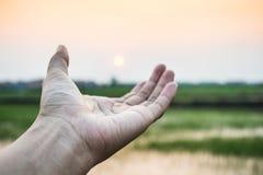 Hand des Mannes auf grünem ungeschältem Reis Stockfoto