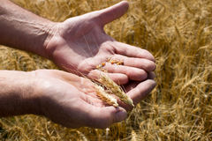 Hand des Mannes mit Weizen Stockfoto