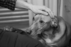 Hand des Mannes s auf dem Hundekopf Lizenzfreies Stockbild
