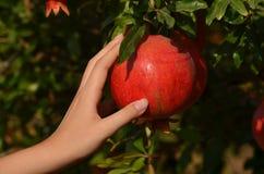 Hand des Mädchens mit dem Granatapfel Stockbild