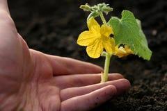 Hand, die Anlage pflanzt Stockbilder