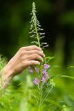 Hand, die Blumen des Weidekrauts (Iwan-Tee, erfasst) Stockfoto