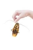 Hand die bruine kakkerlak over witte achtergrond houden stock foto