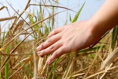 Hand, die das Gras berührt Stockbilder