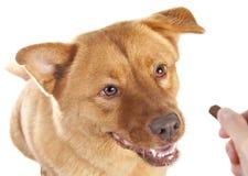 Hand, die dem Hund Festlichkeit gibt Lizenzfreie Stockfotos