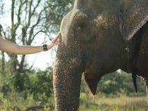 Hand, die den Kopf des Elefanten streicht Lizenzfreie Stockbilder