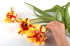 Hand, die drei Tulpen verschiebt Lizenzfreie Stockbilder
