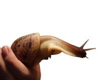 Hand die een grote slak houdt Stock Foto
