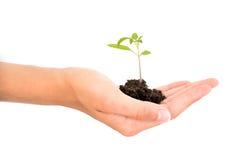 Hand die een het groeien jonge babyinstallatie op witte achtergrond, het nieuwe leven, het tuinieren, milieu, ecologieconcept hou Royalty-vrije Stock Afbeeldingen