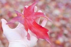Hand die een rood verlof van sweetgumboom houdt Stock Foto's