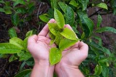 Hand die een vers theeblad op theeaanplanting houden Royalty-vrije Stock Afbeeldingen