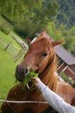 Hand, die ein Pferd speist Stockbilder