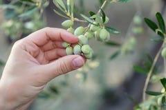 Hand, die eine Niederlassung von grünen Oliven hält Stockbilder