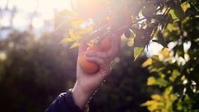Hand, die eine Orange von einem Baum auswählt