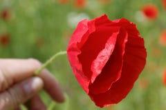 Hand, die eine schöne rote Mohnblume hält Stockbilder