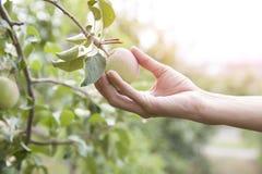 Hand, die einen Apfel, Apfelbaum auswählt Stockfotos