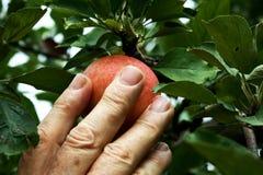 Hand, die einen Apfel auswählt Lizenzfreie Stockbilder