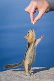 Hand, die einen Chipmunk speist Stockbild