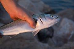 Hand, die Fische hält Lizenzfreie Stockbilder