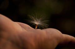 Hand, die Fliegensamen hält Stockbilder
