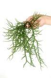 Hand, die frische grüne Meerespflanze anhält Lizenzfreie Stockbilder