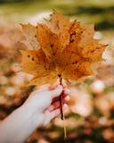 Hand die gele esdoornbladeren op achtergrond van de herfst de gele bladeren houden stock foto's