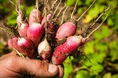 Hand, die Gemüse im Garten hält Stockbild