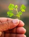 Hand, die grüne Kleeblätter hält lizenzfreies stockbild
