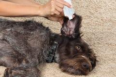 Hand die het oor van hond met remedie wassen Royalty-vrije Stock Afbeeldingen