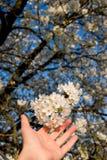 Hand, die Kirschblüte hält Lizenzfreie Stockfotos