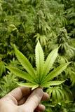 Hand, die Marihuana-Blatt mit Hintergrund-Beschaffenheit von Innenhanf-Anlagen hält Lizenzfreie Stockfotos