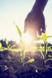 Hand die neer aan een jonge maïsinstallatie bereiken Royalty-vrije Stock Foto's