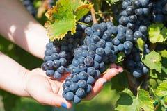 Hand, die neue rote Weintraube im Weinberg hält Weinberg Stockbild
