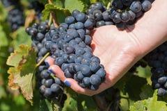 Hand, die neue rote Weintraube im Weinberg hält Weinberge in der Herbsternte Stockbild
