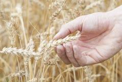 Hand, die Ohr des reifen Weizens (Triticum) hält. Lizenzfreies Stockbild
