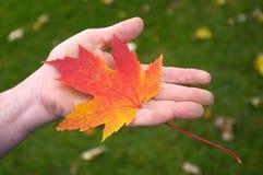 Hand, die orange Ahornblatt anhält Stockfotos