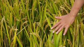Hand die over de hoofden van Aziatisch gouden padieveld op een gebied borstelen stock footage