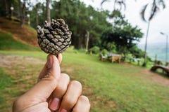 Hand, die pinecone hält Stockbilder